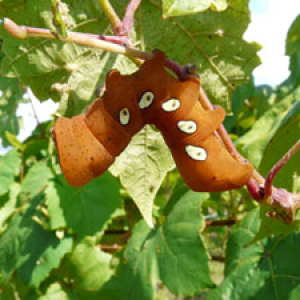 Orange caterpillar on grape vine.