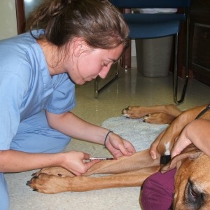 Student doing a blood draw on a dog