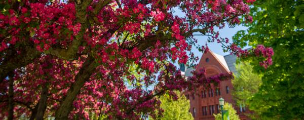 Tree blossoming on UVM green, look toward Williams Science Hall