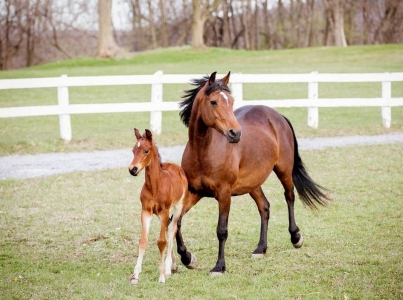 Morgan mare plays with her foal