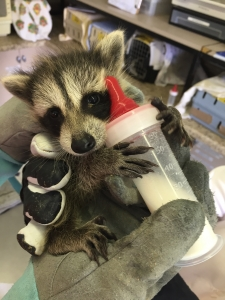 Orphan baby raccoon being bottle fed