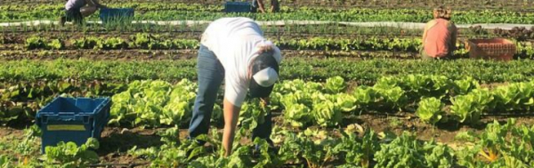Harvesting Greens on UVM's Catamount Farm