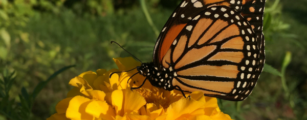 UVM Catamount Farm Monarch Butterfly on a Zinnia Flower