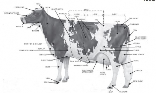Diagram showing the parts of a dairy cow