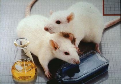 Two albino lab mice