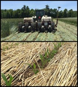 No-till crimper and corn emerging