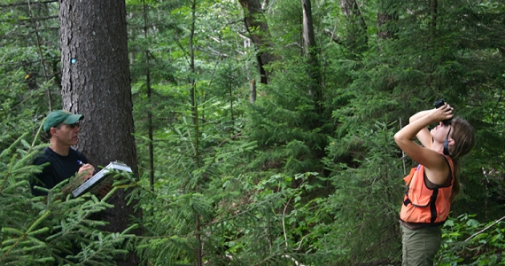 Two researchers in spruce fir forest