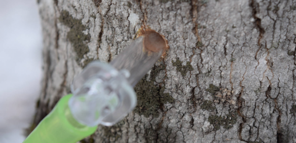 a plastic tap and tube in a maple tree