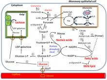 Main pathways of glucose utilization in mammary alveolar epithelial cells.