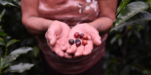 Image of hands holding coffee beans