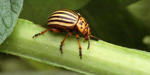 A Colorado potato beetle on a plant stem