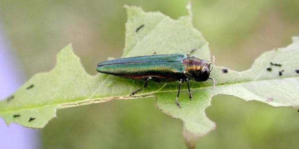 A green, long emerald ash borer bug sitting on a green leaf