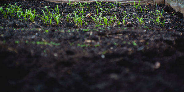 Soil bed with plants sprouting
