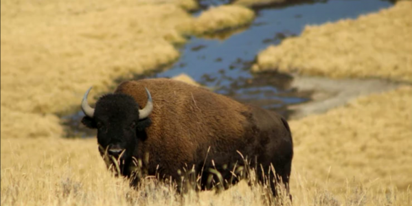 A buffalo standing in a field next to a river