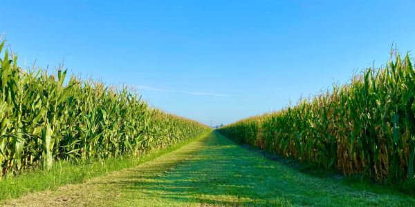 Green grass and rows of growing corn under a blue sky