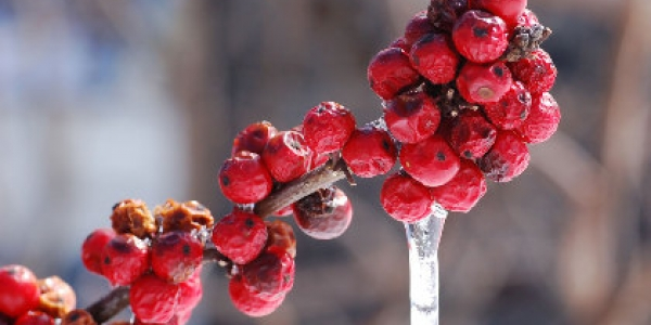 American Winterberry