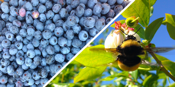 A composite image of blueberries and a bumblebee pollinating a blueberry flower.