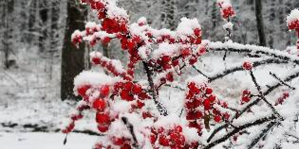 Red winterberries against a white, snowy landscape