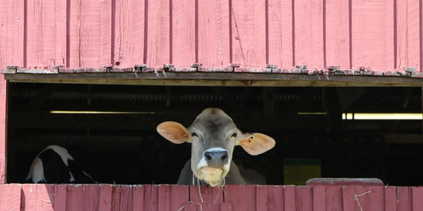 Cow looking out of barn window
