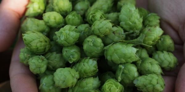 Hands holding a cluster of hops