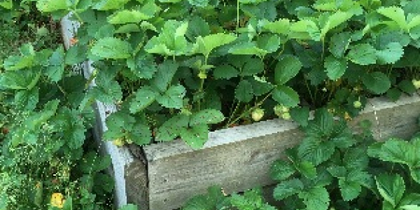 A raised garden bed with strawberry plants
