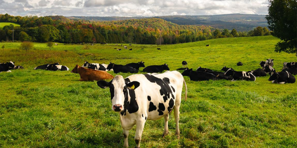 Green field of black and white cows with fall colors on distant hillsides