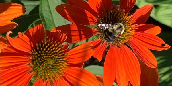 honey bee on orange coneflower